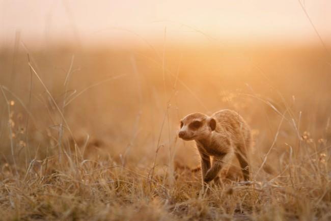 Ein Erdmännchen läuft in goldenem Licht durch Steppengras.