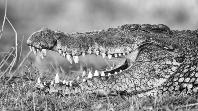Das leicht geöffnete Maul eines Krokodils von der Seite.