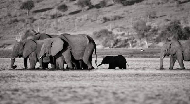 Eine Herde Elefanten watet durchs Wasser.