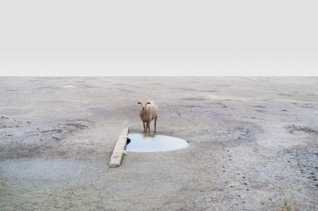 Ein Schaf vor einer Pfütze.