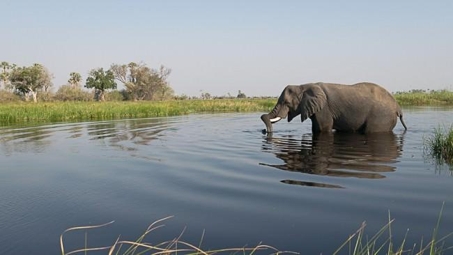 Ein Elefant im Wasser, umgeben von Savanne.