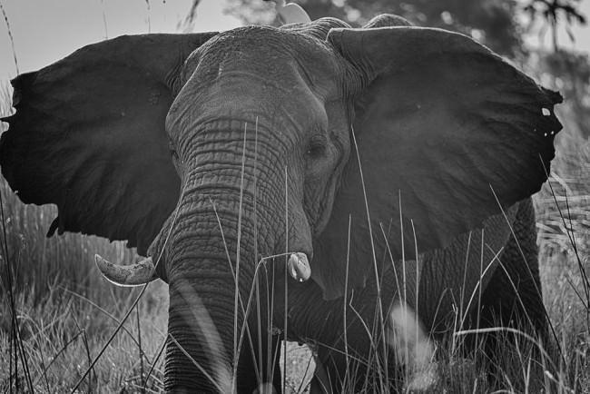 Elefant im hohen Gras.