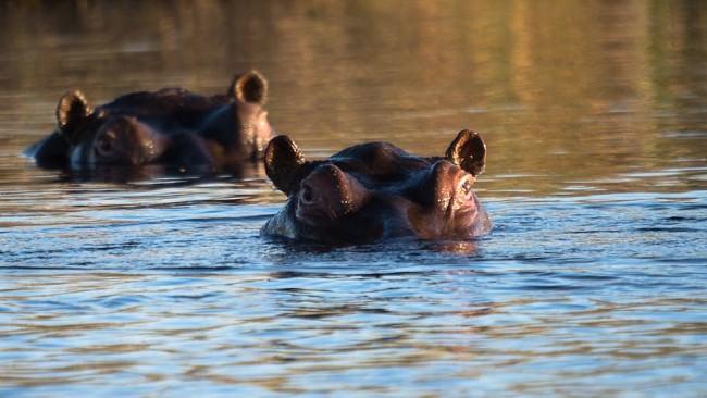 Gesichter von zwei Flusspferden ragen zur Hälfte aus dem Wasser.