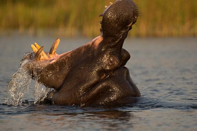 Flusspferd im Wasser, das das Maul weiß aufreißt.