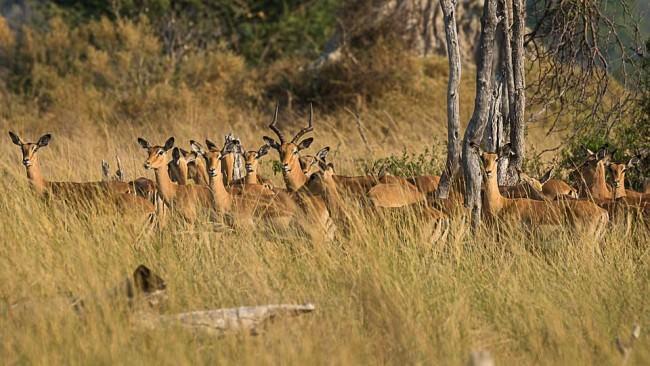 Antilopenrudel in hohem Savannengras.
