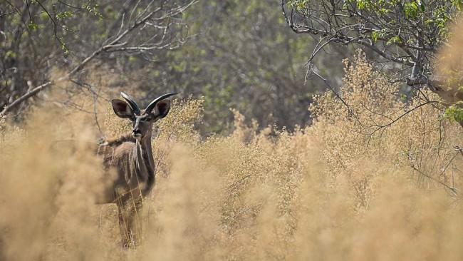 Antilope zwischen hohen Büschen.