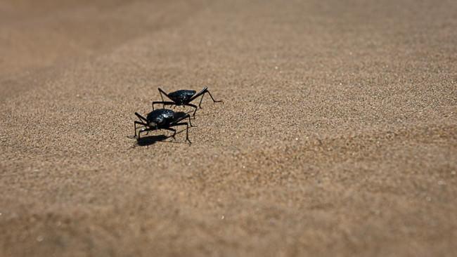 Zwei Käfer laufen über Sand.