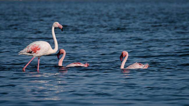 Drei Flamingos im Wasser.