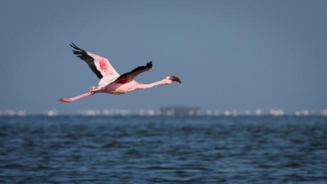 Flamingo im Flug über einem Gewässer.