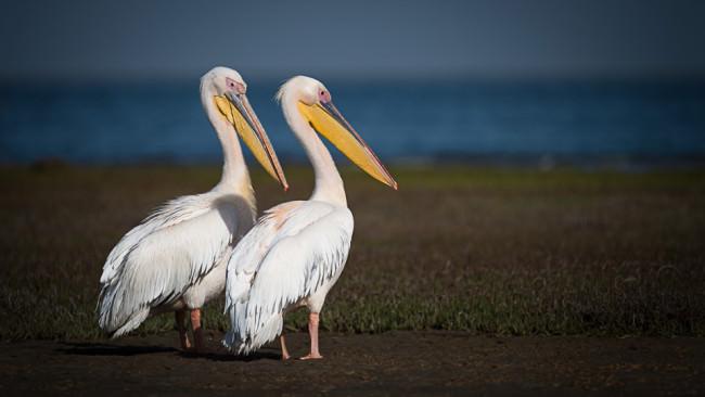 Zwei Pelikane stehen im Sand an einem Ufer.