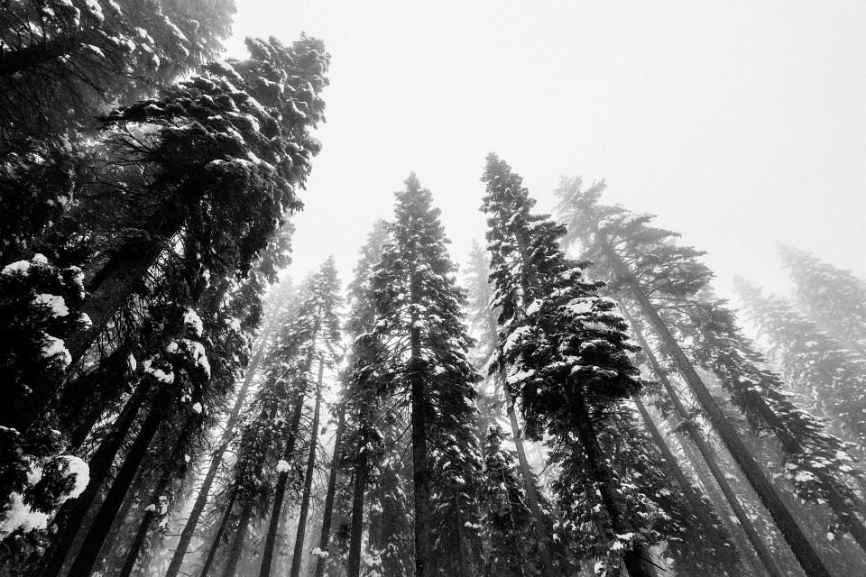 Schneebedeckte Nadelbäume vor nebligem Himmel.