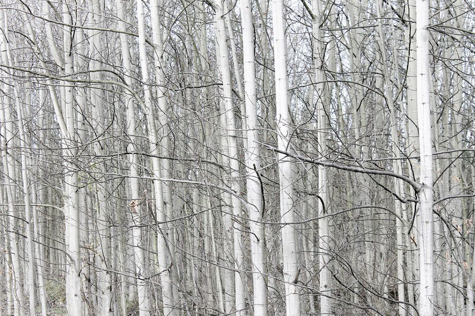 Heller Wald aus vielen dünnen weißen Birken.