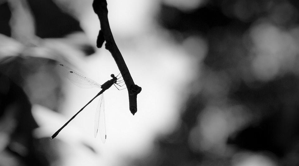 Silhouette einer Libelle, an einem Ast sitzend.