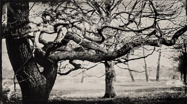 ein Baum in Nassplattenverfahren