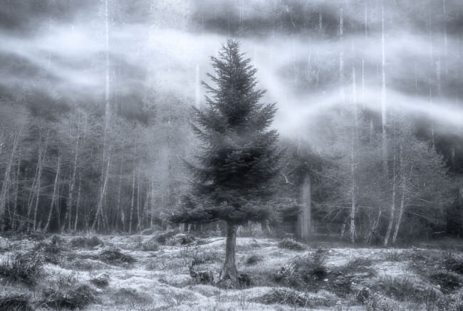 Ein Nadelbaum im Nebel.