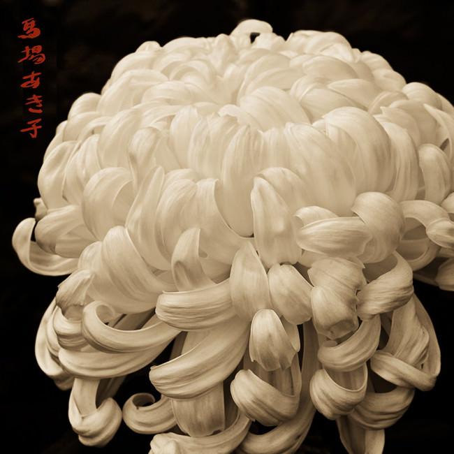 Chrysantheme.