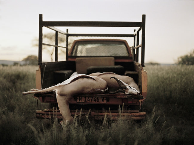 Tote Spingböcke auf einem Truck