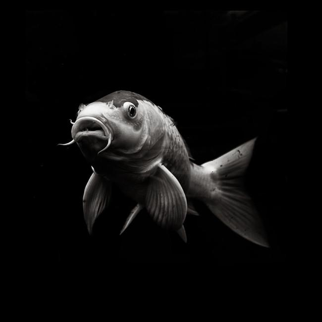 Koi Fisch freigestellt vor schwarzem Hintergrund.