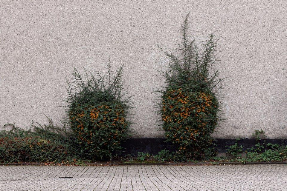 Zwei verwachsene Büsche vor einer grauen Wand.