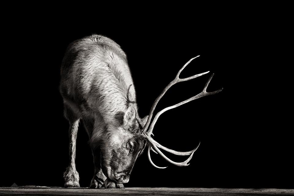 Ein Caribou in schwarzweiß.