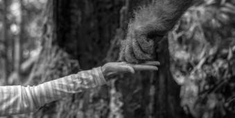 Die Hand eines Menschen berührt die Hand eines Orang Utans.