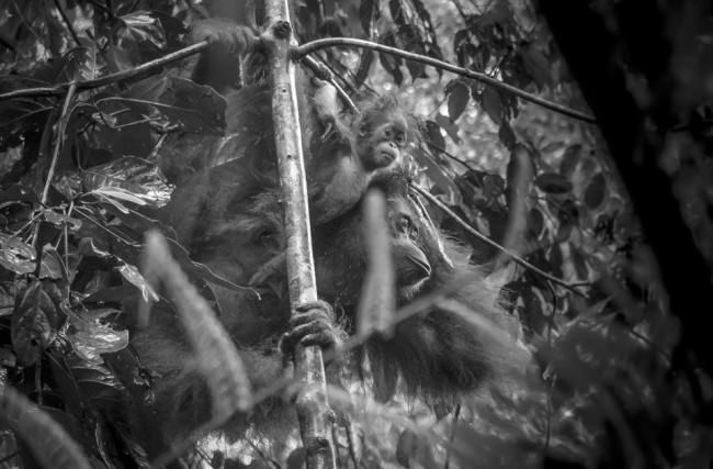 Eine Orang-Utan-Mutter mit Kind.