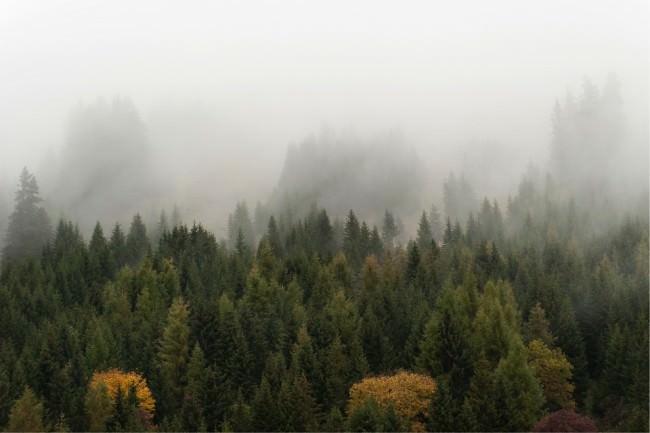 Ein grüner Nadelwald im Nebel.