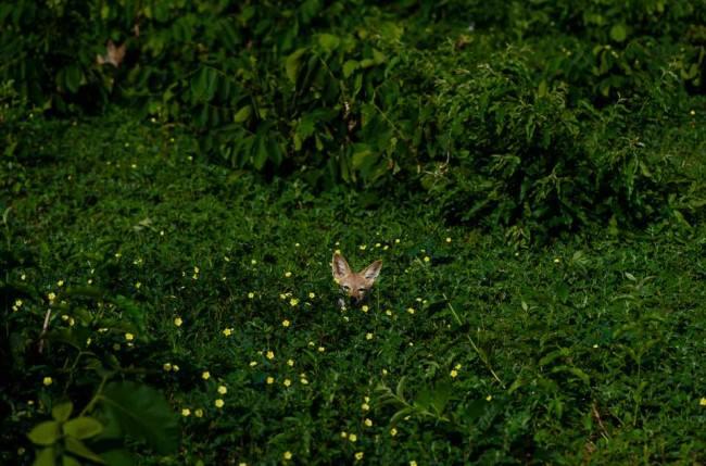 Ein Tier schaut aus einem Busch heraus