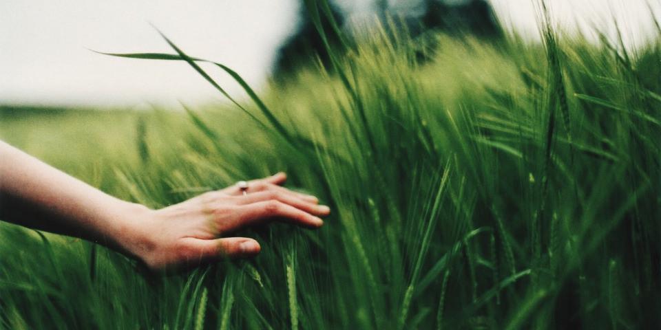 Eine Hand streicht über ein grünes Weizenfeld
