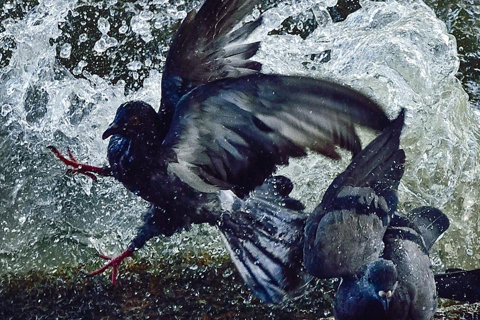 Tauben in einer Pfütze