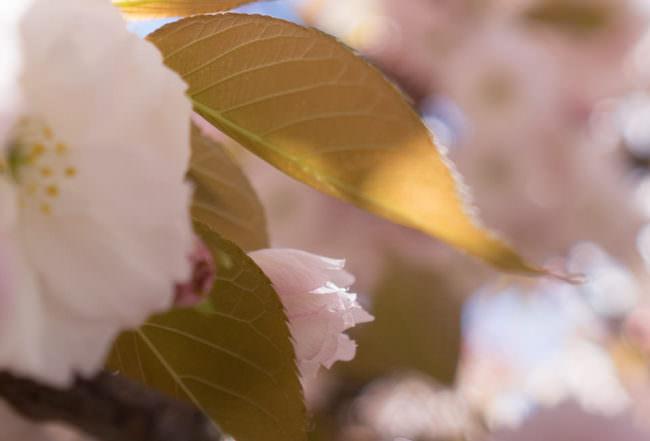 Nahaufnahme eines Kirschbaumblatts