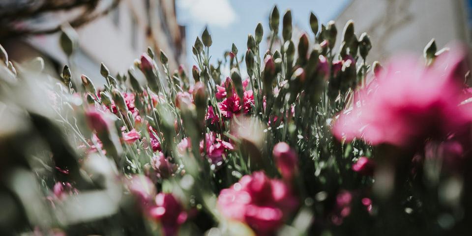 Rosafarbene Blüten