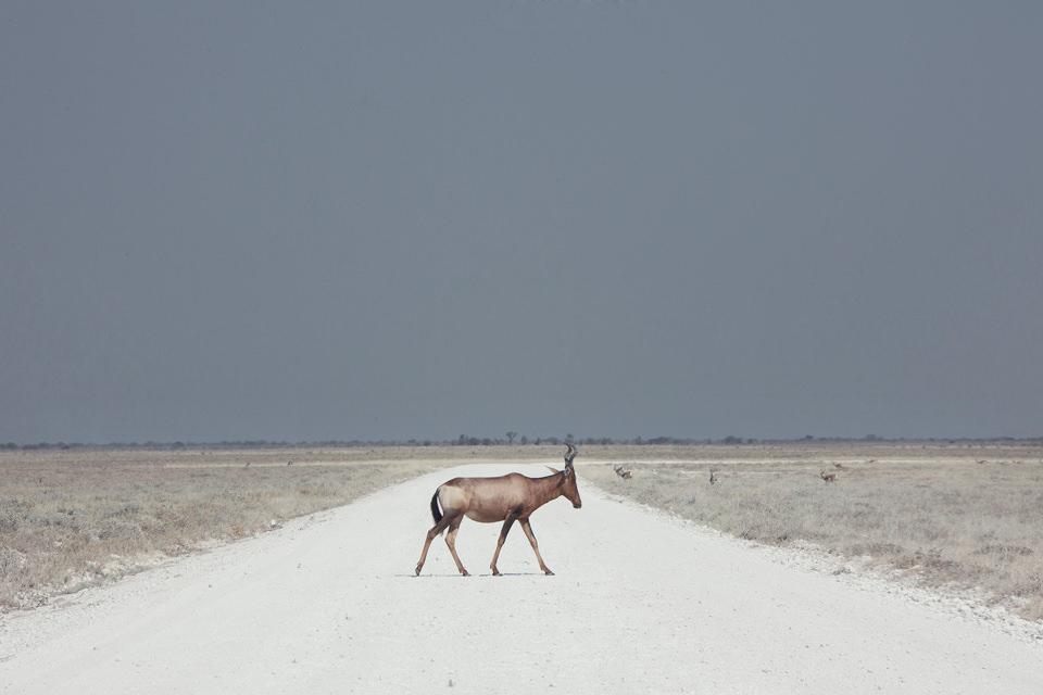 Eine Gazelle auf einem Weg in der Wüste