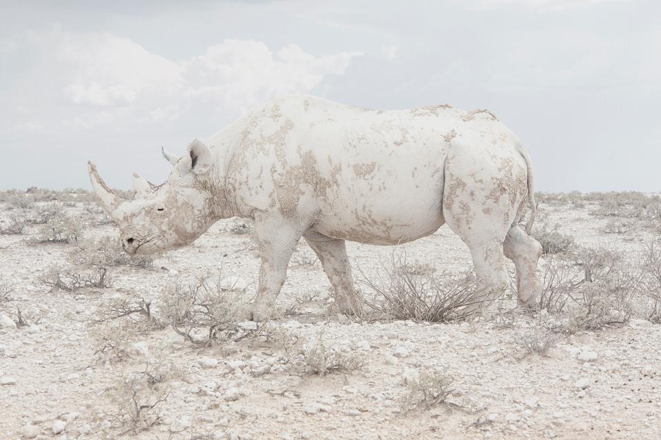 Ein weißes Nashorn in weißer Landschaft