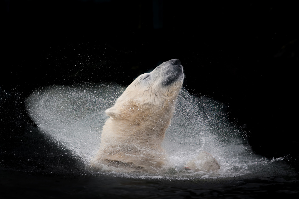 Ein Eisbär schüttelt sich