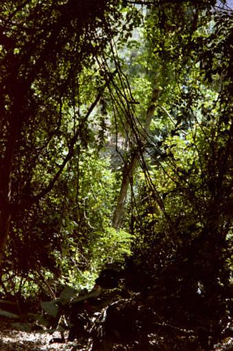 Dschungelansicht mit Lianen.