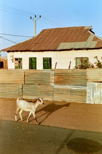 Freilaufende Ziege vor Blechzaun mit Haus im Hintergrund