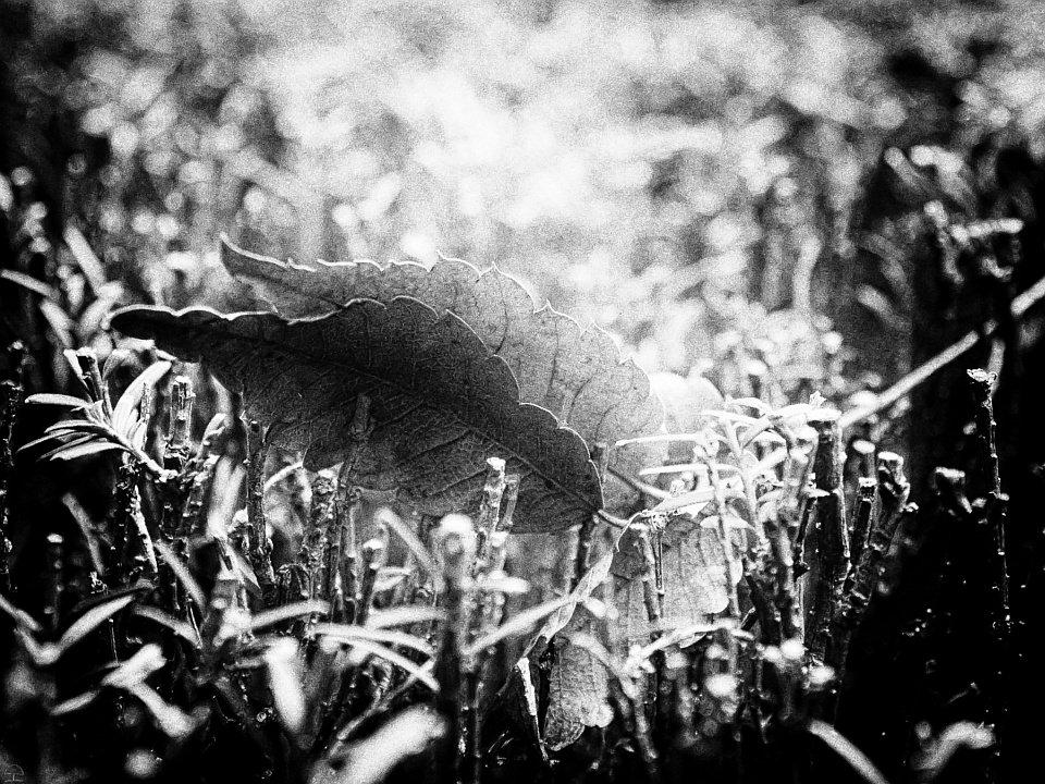Zwei Laubblätter liegen im Gras, Gegenlicht, schwarzweiß.