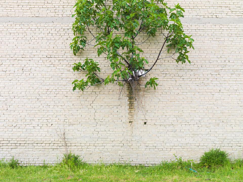 Ein Baum wächst aus einer Mauer