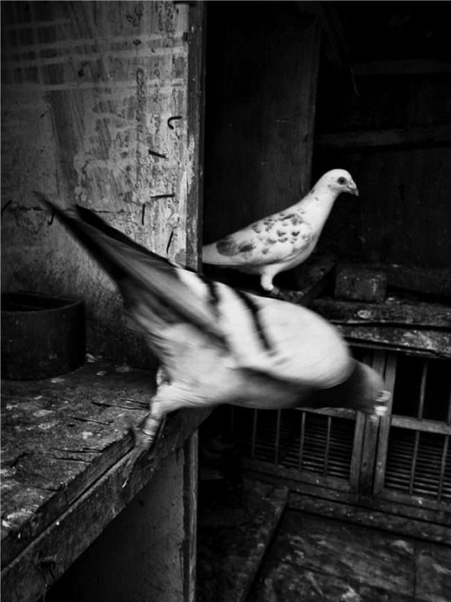 Zwei Tauben.