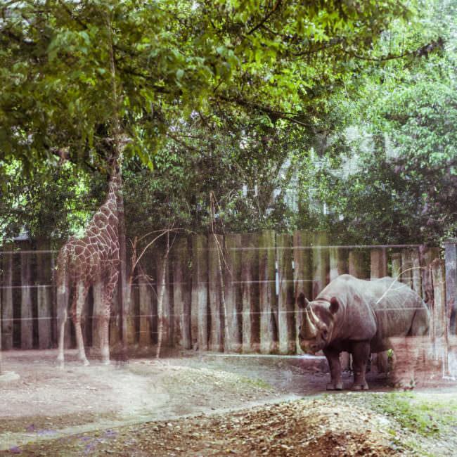 Ein Nashorn im Zoo