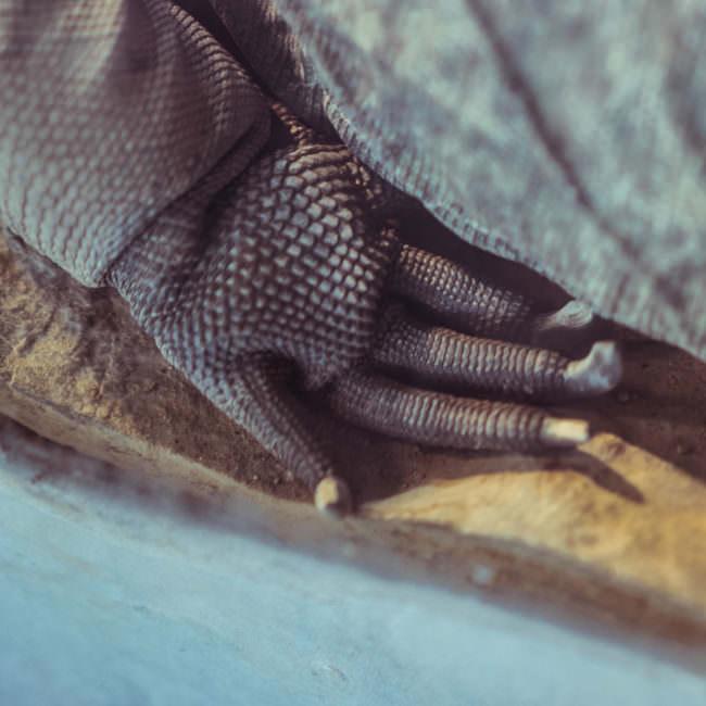 Der Fuß eines Reptils