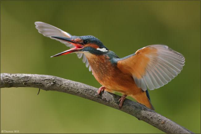Ein Eisvogel mit ausgebreiteten Flügeln.