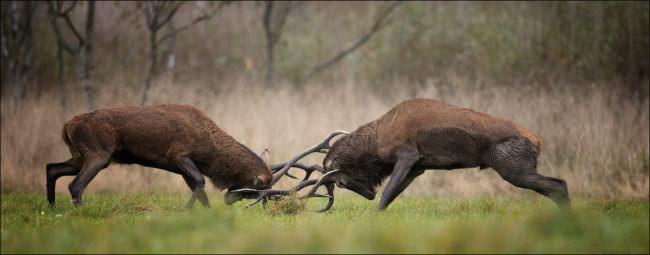 Zwei Rothirsche kämpfen gegeneinander.