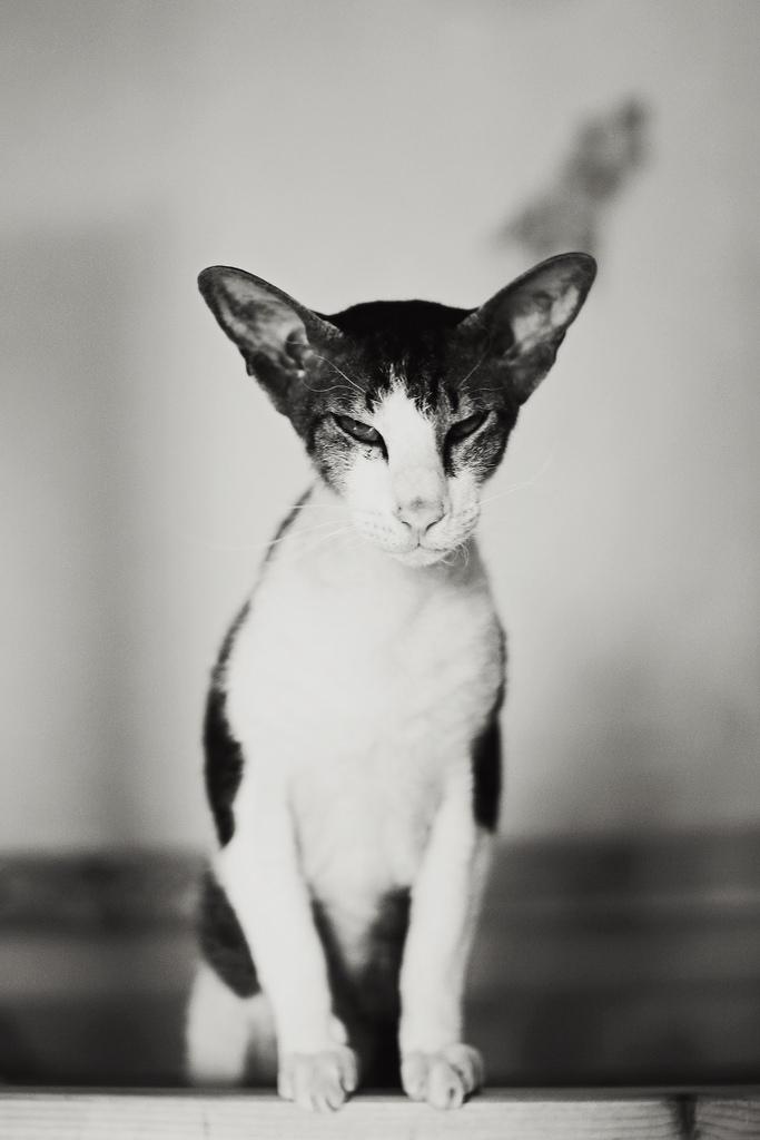 Schwarzweißfoto einer Katze.