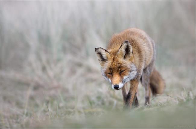 Ein Fuchs stromert durch das Gras.