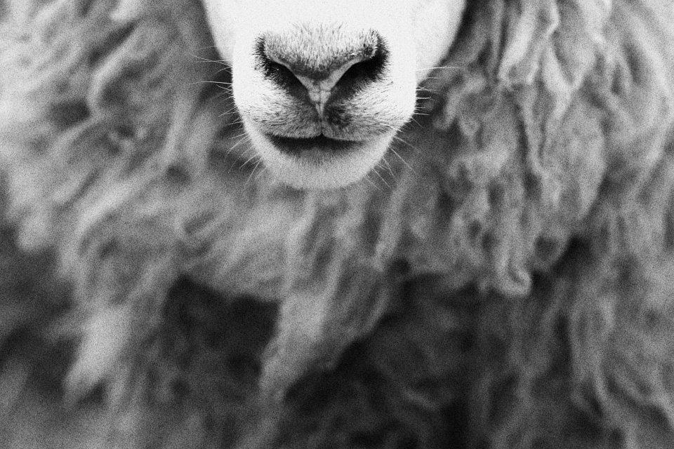 Ein Schaf.
