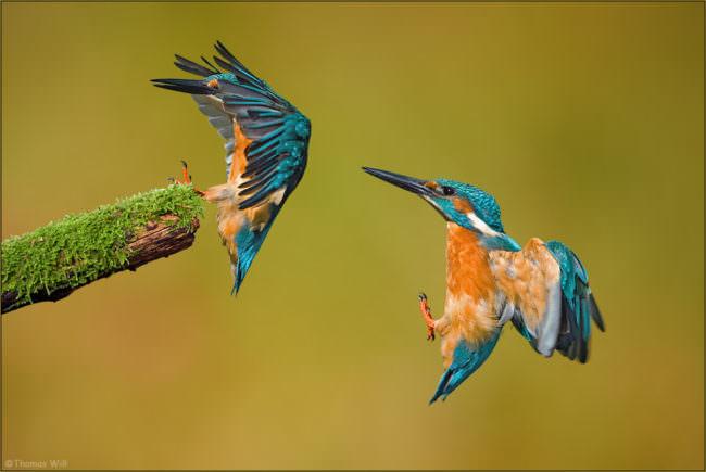 Zwei Eisvögel im Landeanflug auf einen moosigen Ast.
