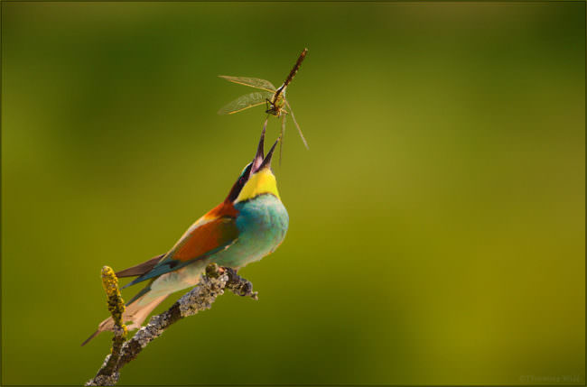 Ein bunter Bienenfresser bei der Jagd auf eine Libelle.