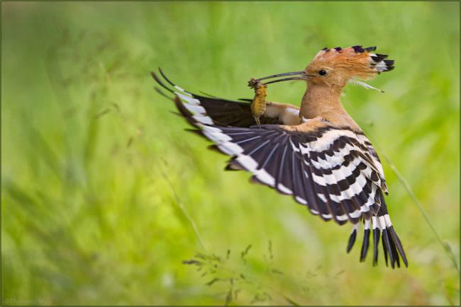 Ein fliegender Wiedehopf hat eine Beute im Schnabel.